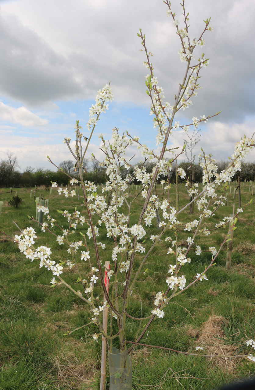 Image of tree blossom, Spring 2015