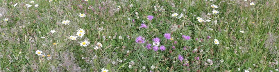 Wild Flowers in Meadow.